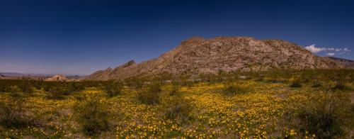 CaliforniaPoppy-Pano