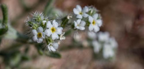 Clearwater Cryptantha